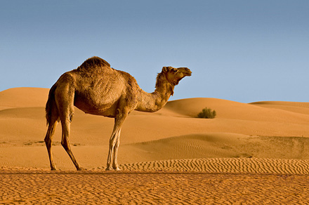 camel1sm.jpg