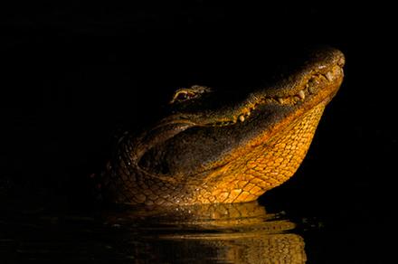 1-alligator.jpg