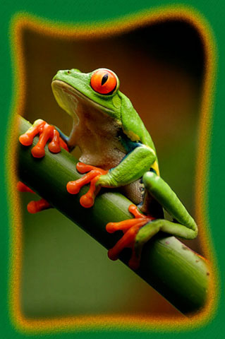 6-red-eyed-tree-frog.jpg