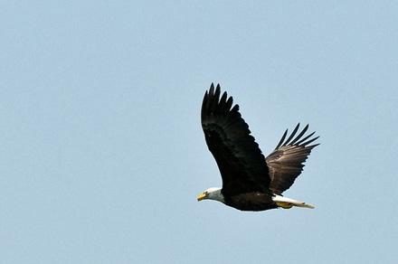 eagle-2sm.jpg